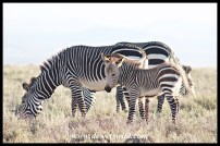 Cape Mountain Zebra foal