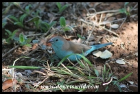 Blue waxbill in Crocodile Bridge