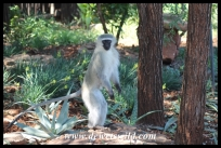 Vervet monkey in Crocodile Bridge