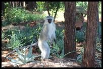 Vervet monkey in Crocodile Bridge