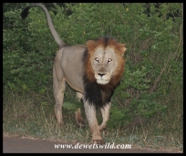 Lions are frequently seen at Crocodile Bridge
