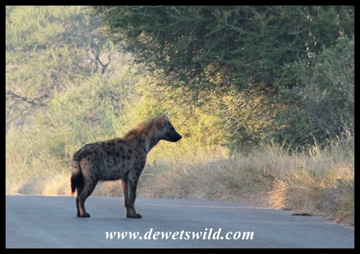 Spotted hyena on the road to Lower Sabie