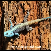 Tree Agama in Crocodile Bridge