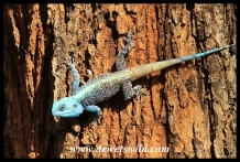 Tree Agama in Crocodile Bridge