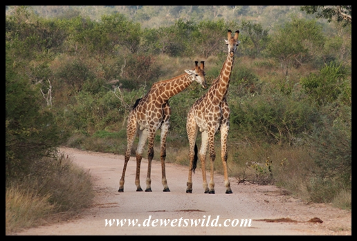 Young giraffe males on the Crocodile River road (Kruger)