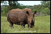 Magnificent male white rhinoceros