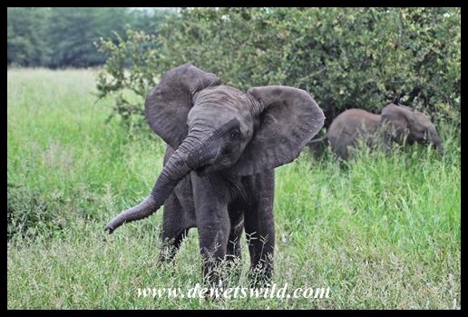 Cheeky baby elephant