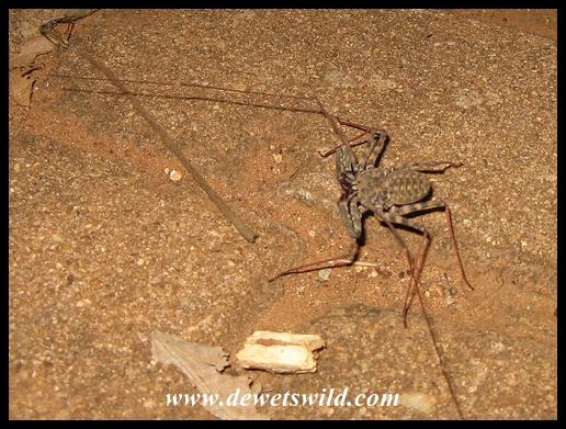 Whip spider in Crocodile Bridge