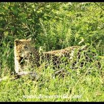 Leopard on the Crocodile River road