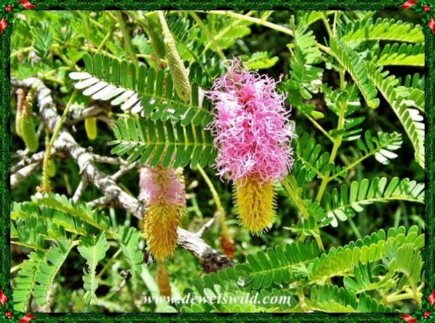 The sickle bush is also known locally as the Kalahari Christmas Tree