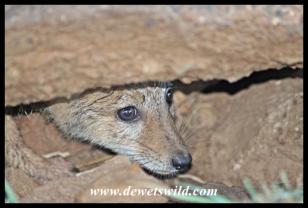 Hiding jackal pup