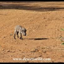 Tiny, lost warthog piglet