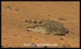 Massive crocodile at Lake Mankwe