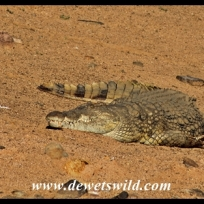 Massive crocodile at Lake Mankwe