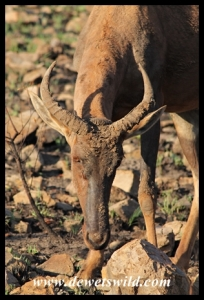 Tsessebe searching for fresh growth following a fire in the Pilanesberg