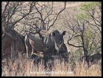 Rock-climbing the white rhino way
