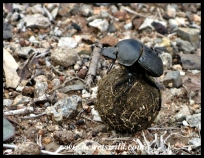 Dung beetle at work