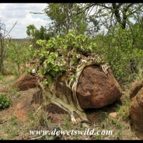 Large-leaved Rock Fig
