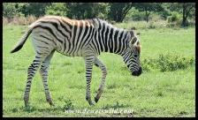 Plains Zebra foal