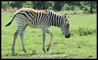 Plains Zebra foal