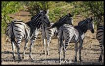 Plains Zebras