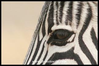 Plains Zebra (photo by Joubert)