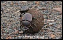 Dung beetles