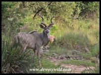 Community_Kudu