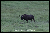 Wet black wildebeest