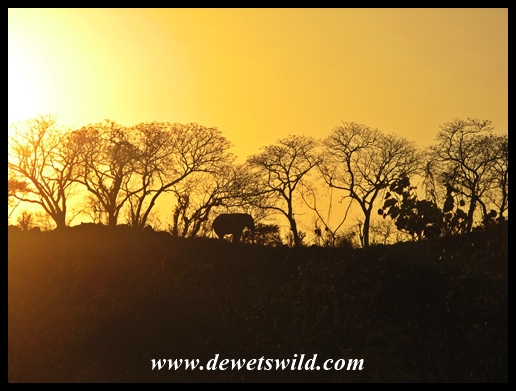 Elephant sunrise, near Letaba in the Kruger National Park