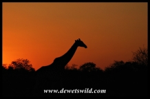 Giraffe sunset, near Olifants in the Kruger National Park