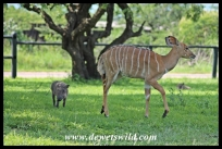 Nyala and warthog playing in Mpila