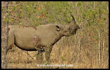 Black Rhino (4)