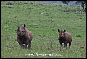 Black Rhino (7)