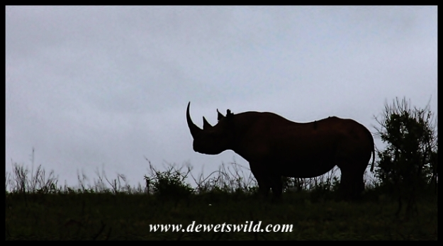 Black Rhino (8)