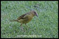 Cape Weaver female