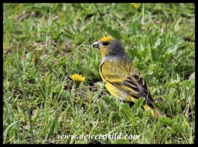 Cape Canary