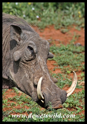 Daddy Warthog showing off his impressive weaponry