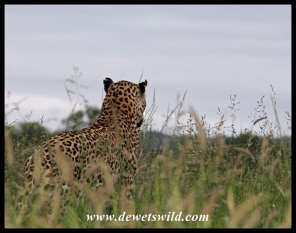 Leopard female calling for her cubs