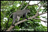 Samango Monkey in Hilltop Camp
