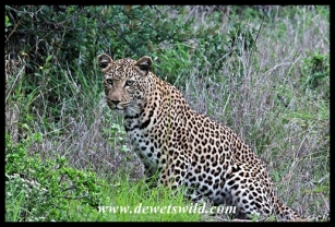 Leopard on Ngubhu Loop in Ithala Game Reserve