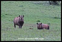 Black rhino pair