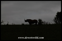 Black rhino in dawn silhouette