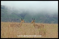 Reedbuck males squaring off