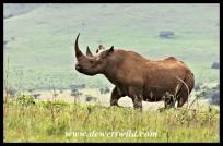 Angry black rhino