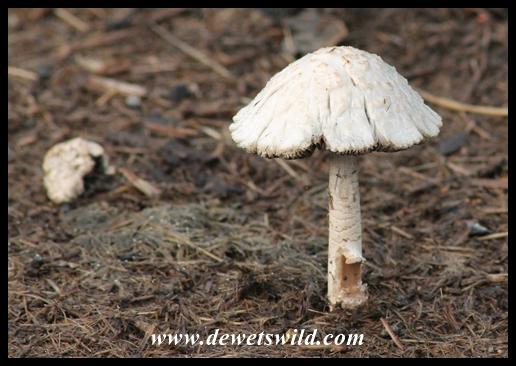 Mushroom on rhino dung
