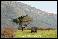 White rhino and Ithala scenery
