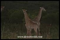Giraffe after sunset