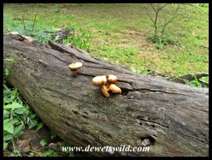 Fungal variety in Ntshondwe