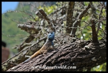 Tree living agama lizard